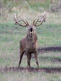 Red deer (Cervus elaphus) Stock Photography