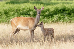 Red Deer (Cervus elaphus). Mother and Calf in long grass royalty free stock photo