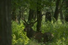 Red deer (Cervus elaphus) Stock Image