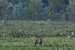 Red deer (Cervus elaphus) Royalty Free Stock Photos