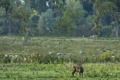 Red deer (Cervus elaphus) Stock Images