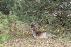 Red deer - Cervus elaphus Stock Photo