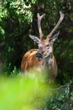 Red deer Cervus elaphus, beautiful young deer from forest stock photography