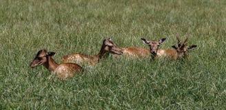 Red deer, Cervus elaphus in a german nature park stock photo