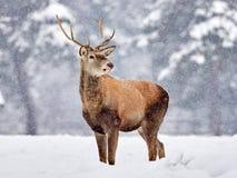 The red deer Cervus elaphus. Outdoor in winter stock photos