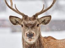The red deer Cervus elaphus. Outdoor in winter royalty free stock image