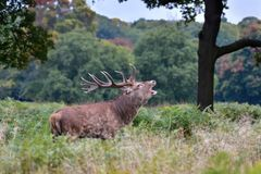 Red deer, Cervus elaphus royalty free stock photography