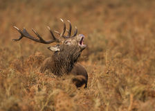 Red deer (Cervus elaphus) Royalty Free Stock Images