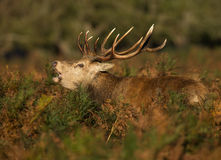 Red deer (Cervus elaphus) Stock Images