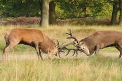 Red Deer, Deer, Cervus elaphus. Rut time - Red Deer, Deer, Cervus elaphus royalty free stock photography