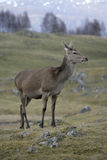 Red deer, Cervus elaphus, Royalty Free Stock Photos