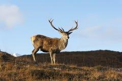 Red deer, Cervus elaphus Royalty Free Stock Images