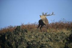 Red deer, Cervus elaphus Stock Images