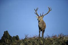 Red deer, Cervus elaphus Royalty Free Stock Image