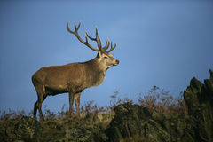 Red deer, Cervus elaphus Stock Image