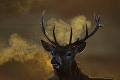 Red deer, Cervus elaphus Royalty Free Stock Image