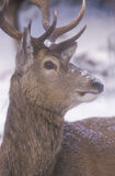 Red deer, Cervus elaphus Royalty Free Stock Photos