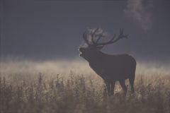 Red deer, Cervus elaphus Stock Photo
