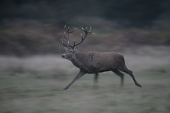 Red deer, Cervus elaphus Royalty Free Stock Images