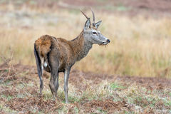 Red Deer (cervus elaphus) Stock Image