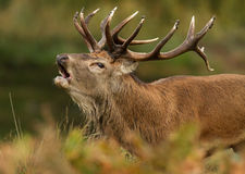 Red deer (Cervus elaphus) Royalty Free Stock Image