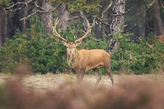 Red deer Cervus elaphus buck in moorland close up. Red deer Cervus elaphus stag with big antlers during rutting season in heathland with a dark forest on the stock image