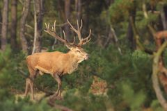 Red deer Cervus elaphus buck in moorland close up. Red deer Cervus elaphus stag with big antlers during rutting season in heathland with a dark forest on the stock photo