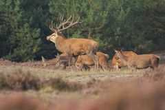 Red deer Cervus elaphus buck in moorland close up. Red deer Cervus elaphus stag with big antlers during rutting season in heathland with a dark forest on the royalty free stock photography