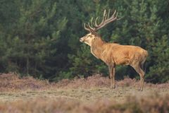 Red deer Cervus elaphus buck in moorland close up. Red deer Cervus elaphus stag with big antlers during rutting season in heathland with a dark forest on the stock photos