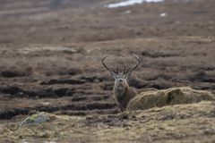 Red deer, Cervus elaphus, stag, foraging, grazing within a glen in Cairngorm national park, scotland during winter in february. royalty free stock photos
