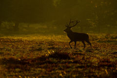 Red Deer (Cervus elaphus) stag in morning Royalty Free Stock Photo