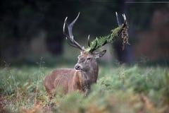 Red deer, Cervus elaphus Stock Image