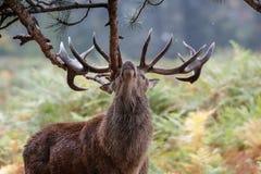 Red Deer Cervus elaphus stag sharpening up his antlers stock images