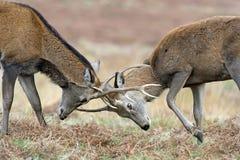 Red Deer (cervus elaphus). Red Deer Stags Battling Against a Background of Red Bracken royalty free stock photo