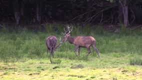 Red deer stock video footage