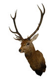 Wall-mounted Red deer trophy isolated on white royalty free stock images