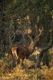 Red deer, Cervus elaphus, , male with his antler. Red deer, Cervus elaphus, Wild, male with his antler stock photo