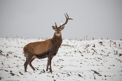 Red deer, Cervus elaphus, in winter on snow with broken antler. Red deer, Cervus elaphus, in winter on snow with antler broken after a fight. Winter frost royalty free stock photo