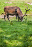 The Red Deer - Cervus elaphus. Stock Photography