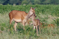 Red deer Cervus elaphus young baby calf with mother Royalty Free Stock Photography