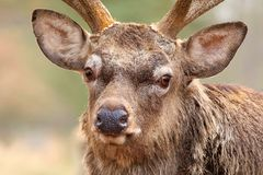 Red deer Cervus nippon portrait Stock Photography