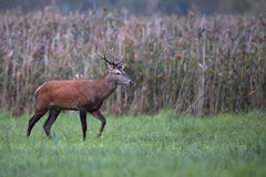 Red deer in a clearing Stock Images