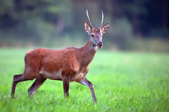 Red deer in a clearing Stock Photography