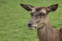 Red Deer Royalty Free Stock Photos