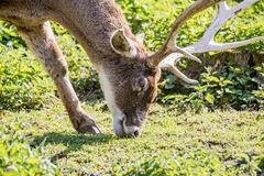Red deer, close up image of a large deer.  Royalty Free Stock Photo