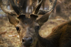 Red deer. Close up of a red deer in the park Royalty Free Stock Images