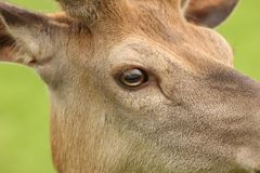 Red Deer close up Stock Images