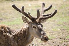 Red deer closeup Royalty Free Stock Image