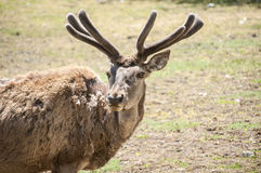 Red deer closeup Royalty Free Stock Photography