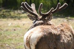 Red deer closeup Royalty Free Stock Photos